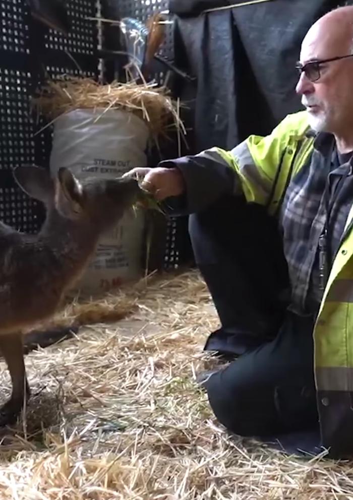 Brad Pit the Kangaroo