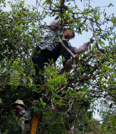 shunan in tea tree