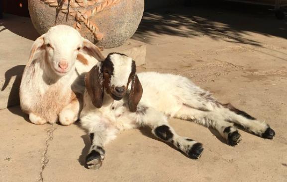 abel the goat