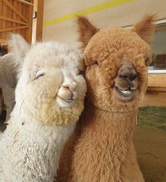 alpaca bffs