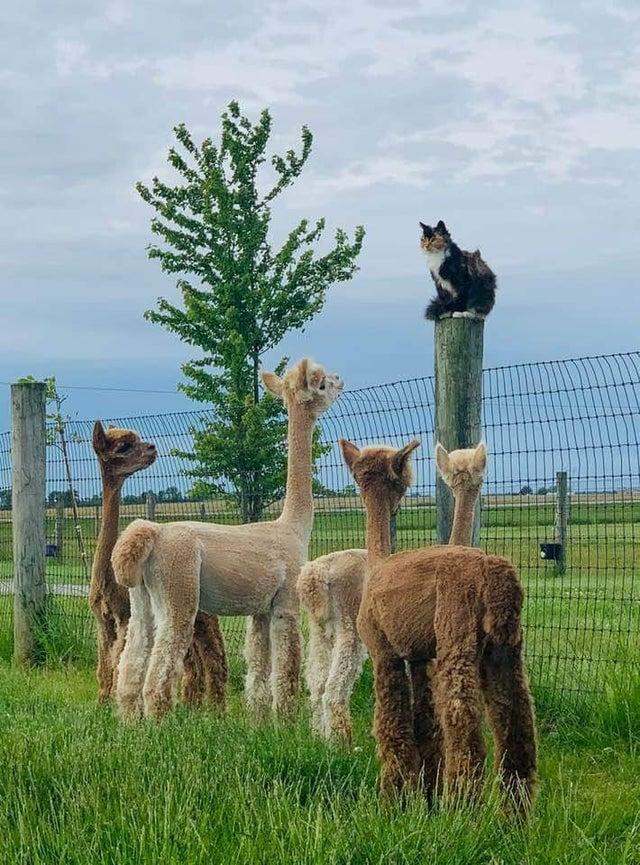 cat and alpacas