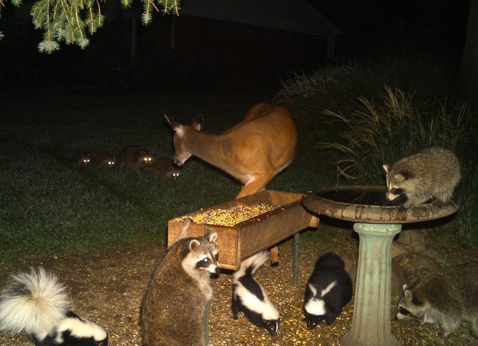 raccoons skunks and deer
