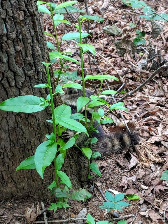 hiding raccoon