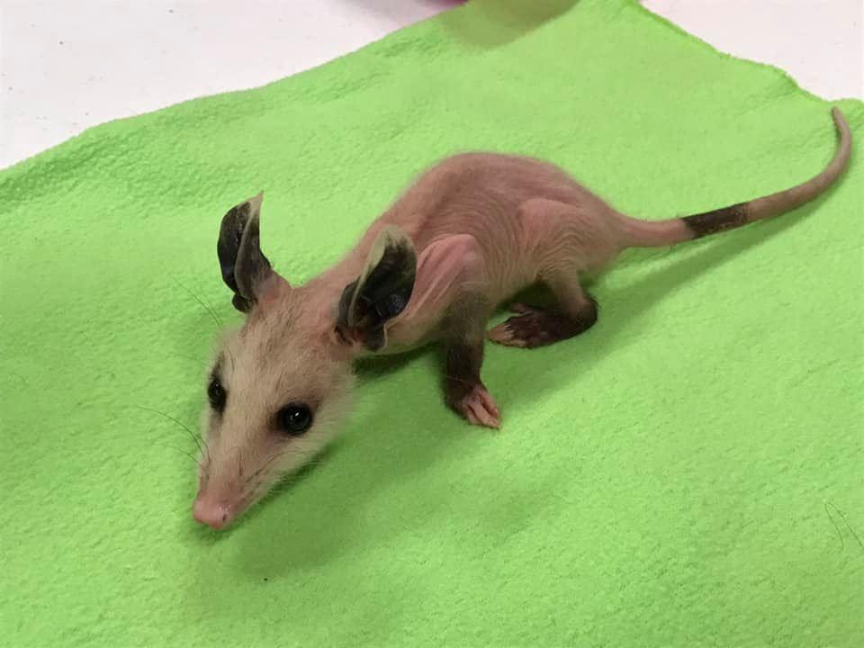 hairless opossum