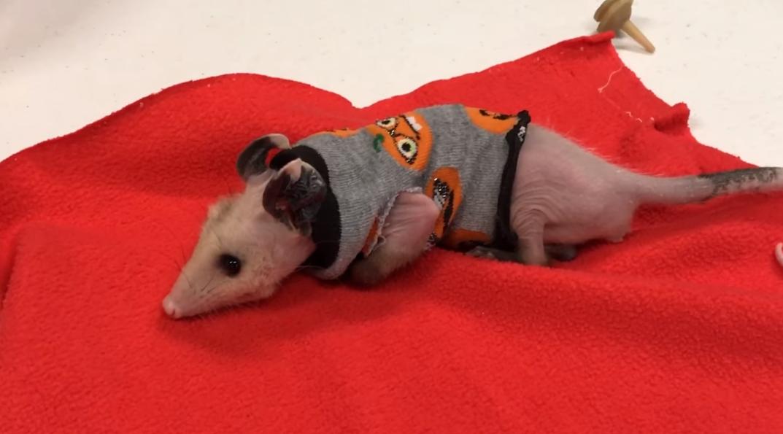 opossum in sweater
