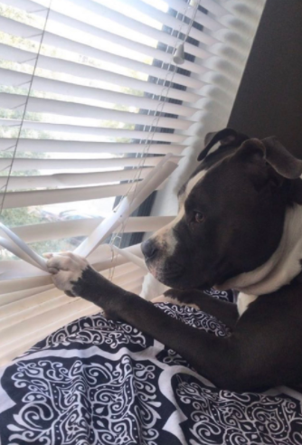 dog looking out blinds
