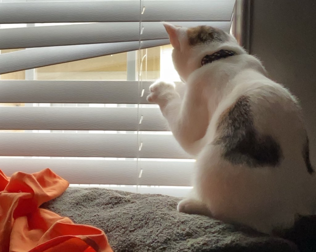 cat looking out blinds