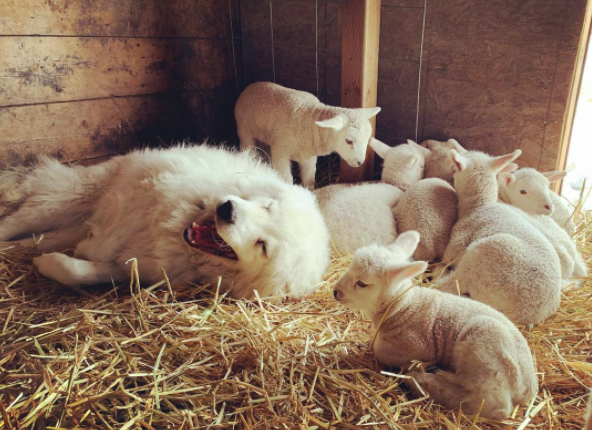 dog with lambs