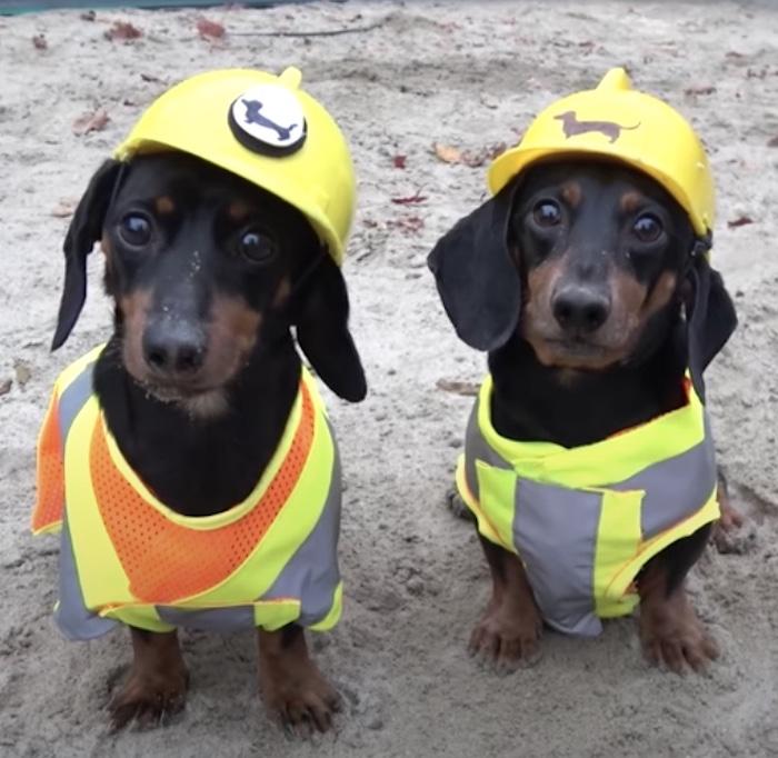 dachshunds in hard hats