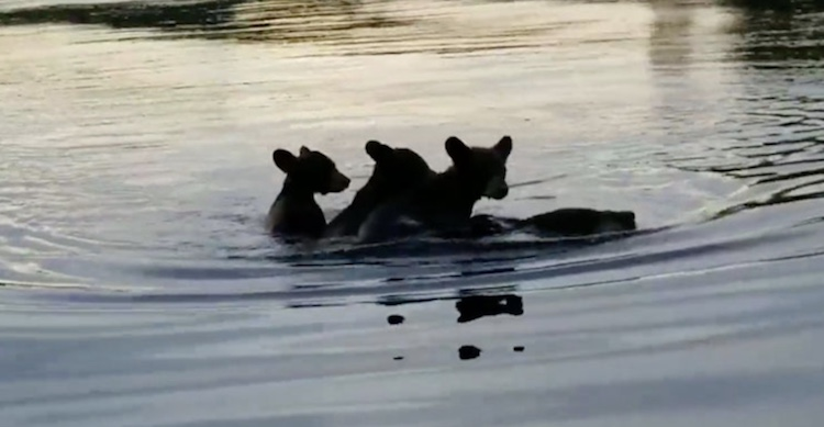 mama bear swimming with cubs