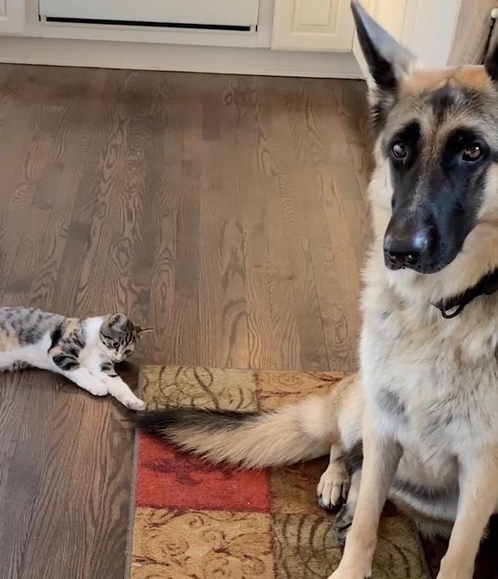 kitten petting dog's tail