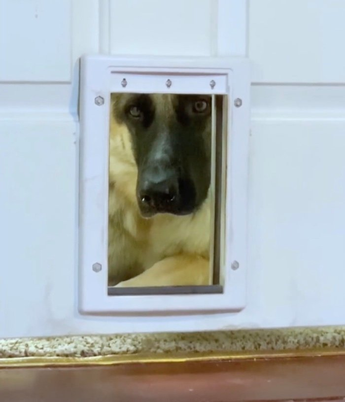 dog looking through doggy door