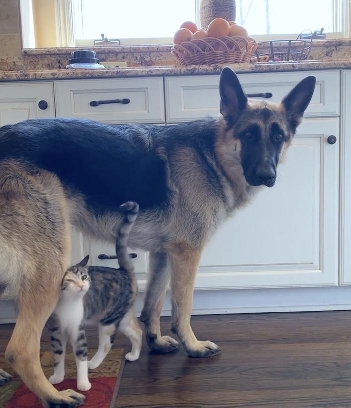 kitten cuddling dog