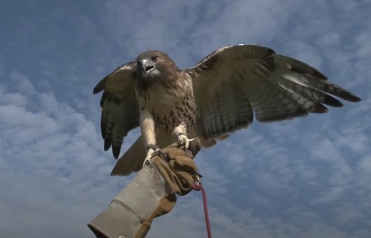 falcon spreading wings