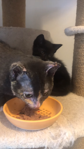 cat eating wet food with kitten behind it