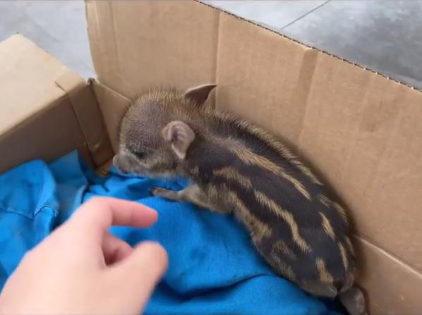 baby boar in box