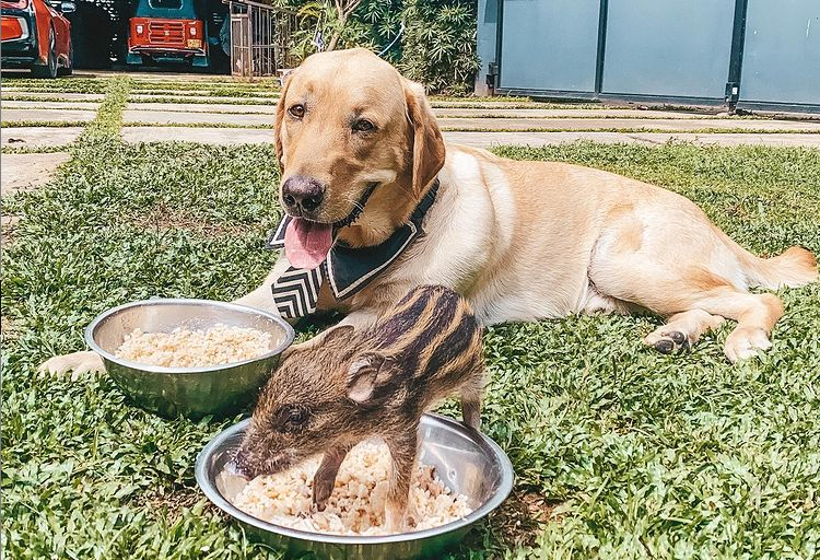 labrador and baby boar eating next to each other from bowls