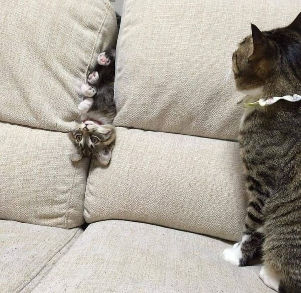 kitten upside down and in-between couch cushions with cat watching