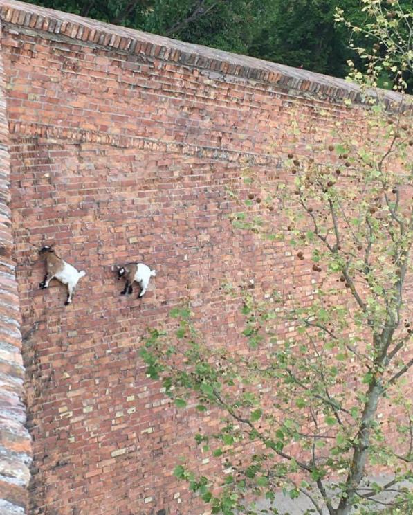 goats climbing brick wall