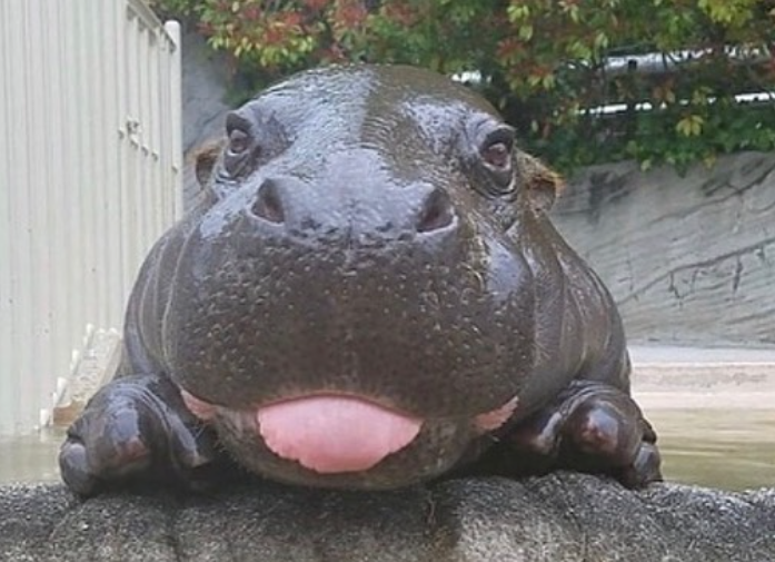 hippo with tongue sticking out