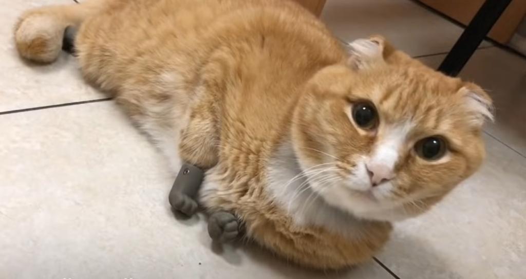 orange cat with prosthetic feet
