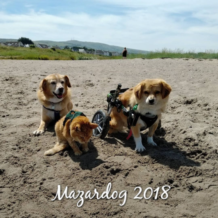 two disabled dogs and a cat on beach