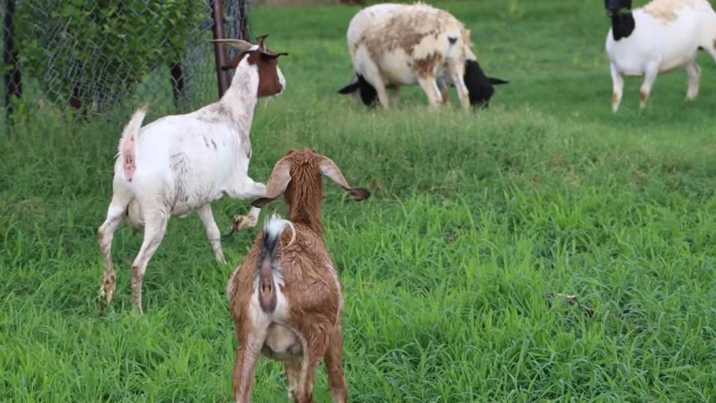 goats running around in grass