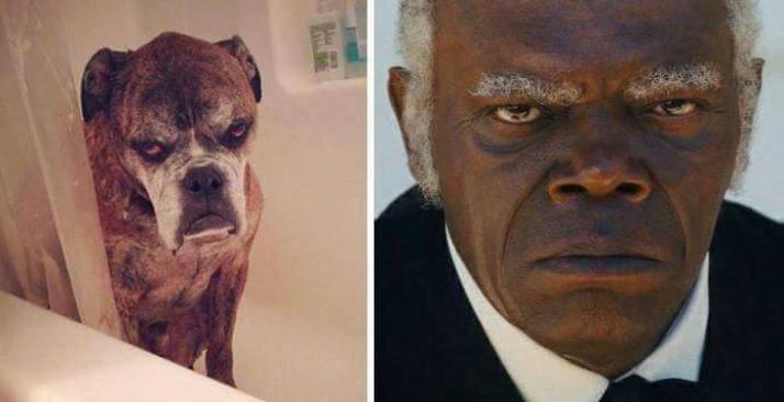 grumpy dog next to serious samuel l jackson