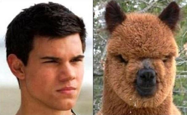 taylor lautner next to fuzz alpaca