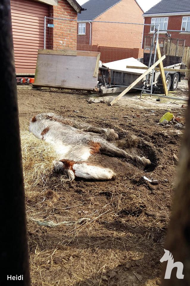 malnourished horse lying flat in the dirt