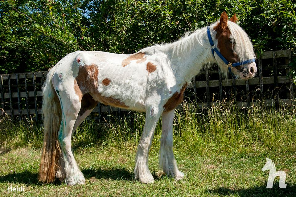 recovering malnourished horse standing in grass