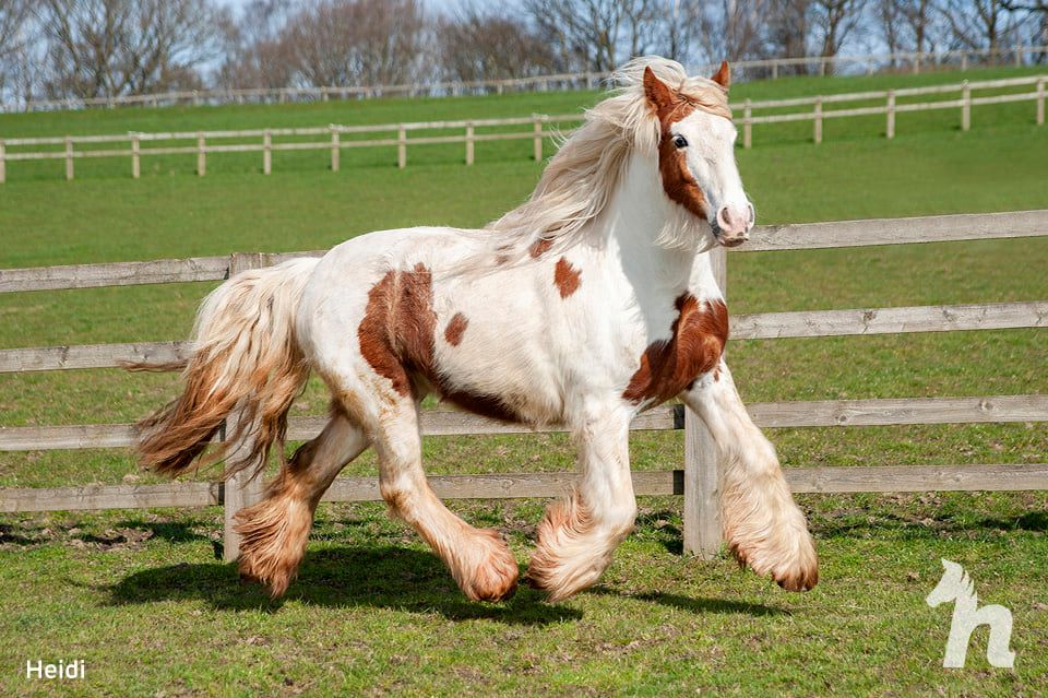 healthy white and brown spotted horse running through field