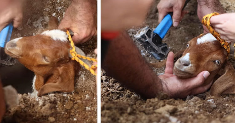 rescuers pulling goat's head from dirt