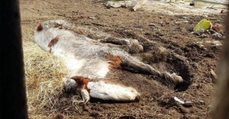 pony on brink of death