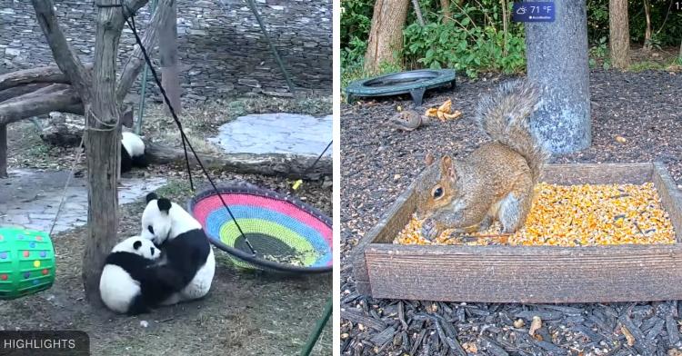 pandas playing next to squirrel grabbing food