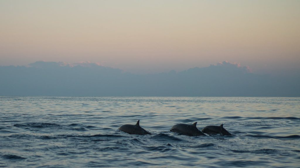 three dolphins swimming in ocean
