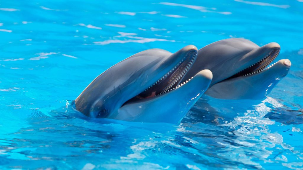 two dolphins with heads above water