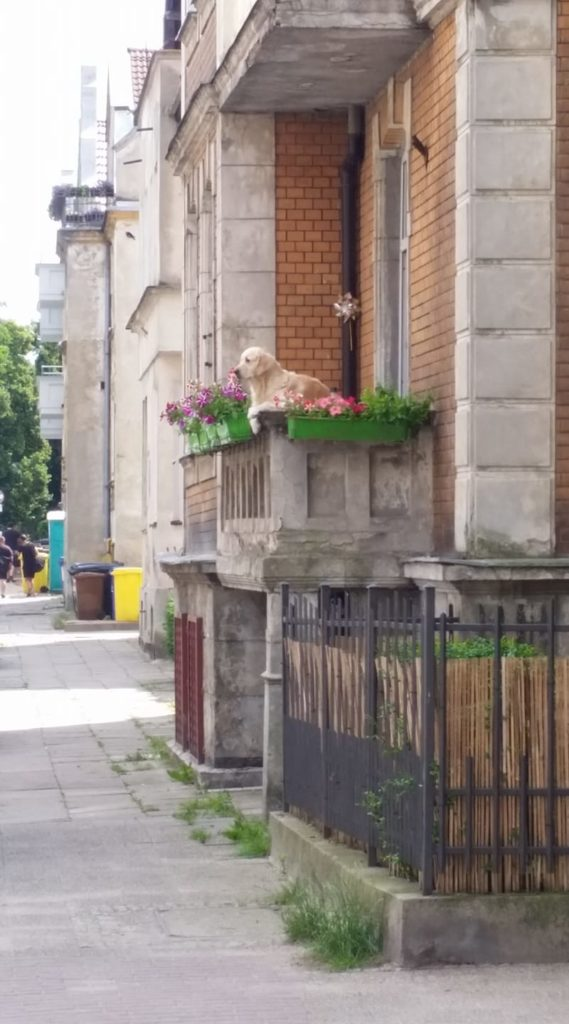 golden retriever looking over balcony with flowers around her