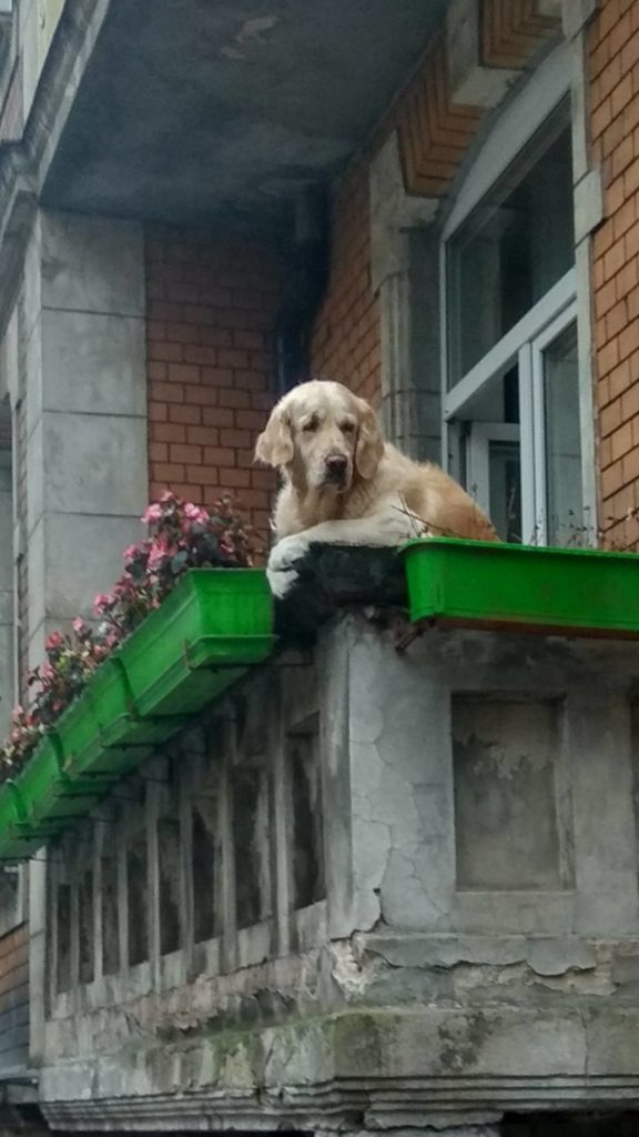 golden retriever looking over a balcony and staring into the distance