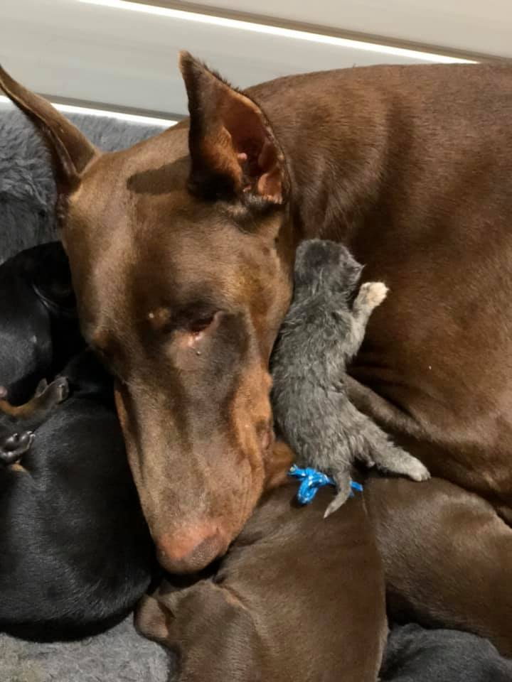 brown doberman cuddling with her puppies and a kitten