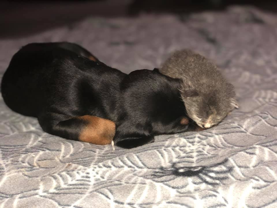 puppy and kitten cuddling and sleeping