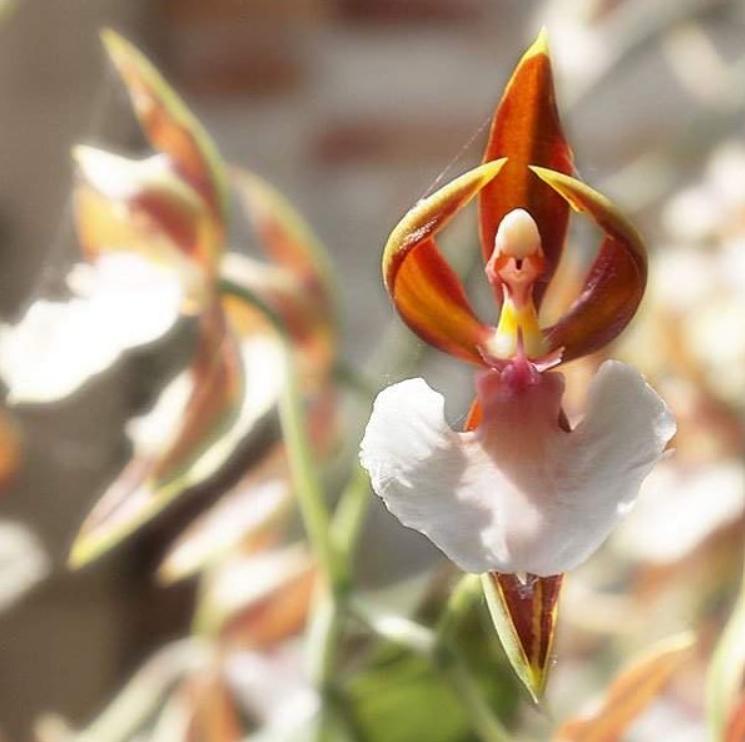 caladenia melanema flowers