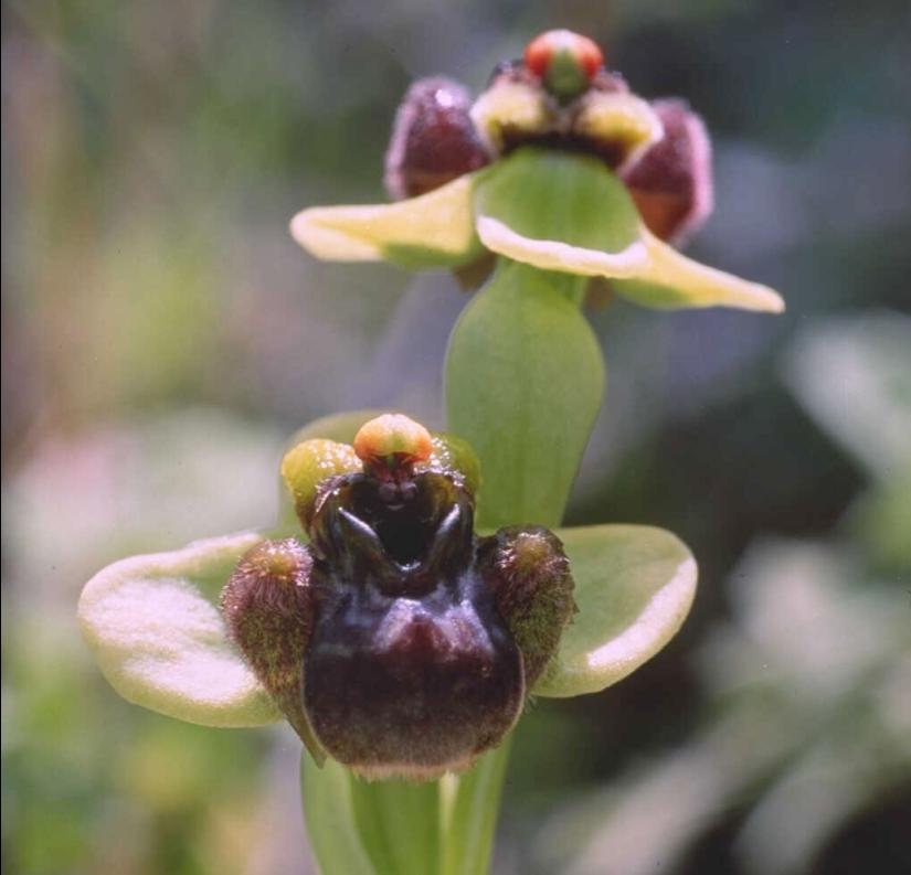 ophrys bomybliflora flowers