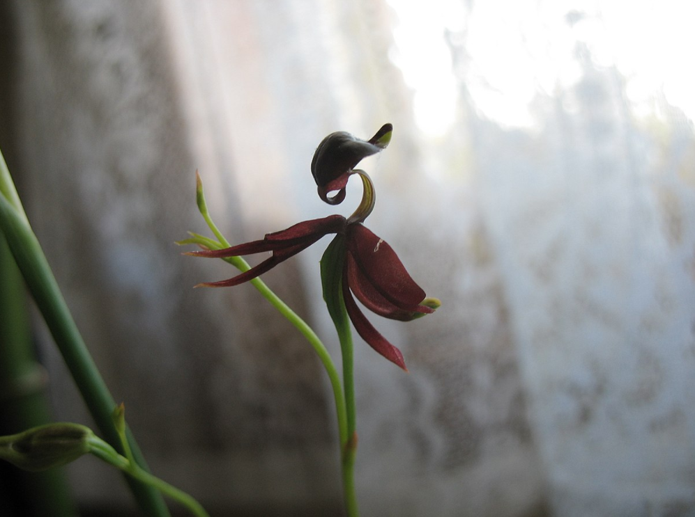 a flying duck orchid
