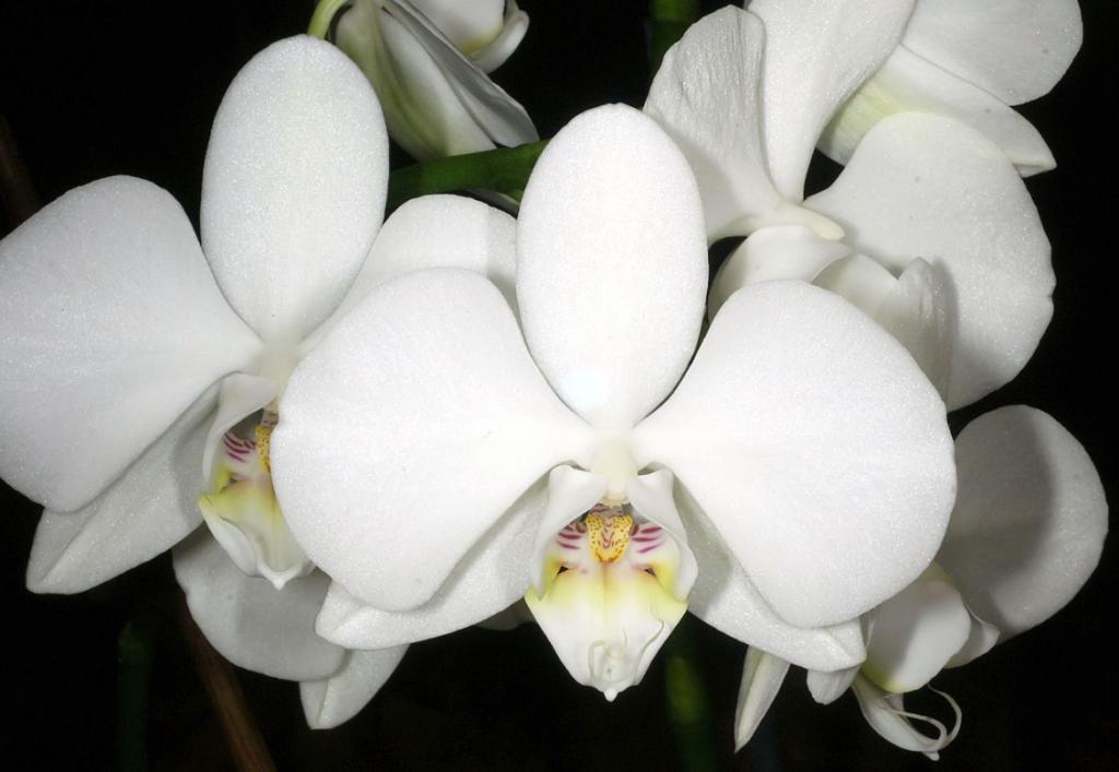 phalaenopsis amabilis flowers