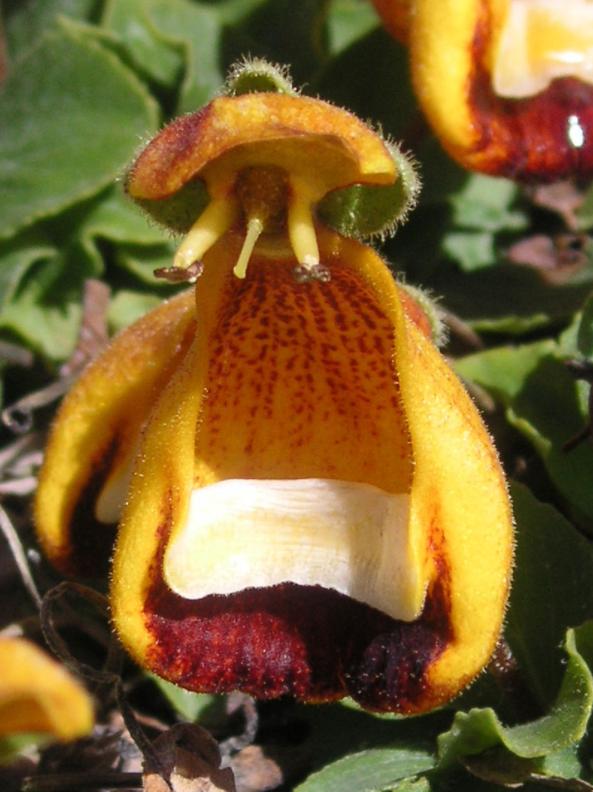 a calceolaria uniflora flower