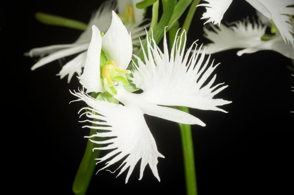 habenaria radiata flowers