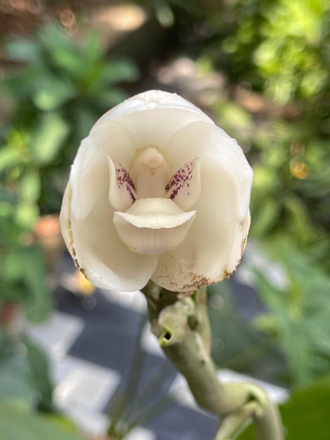 a peristeria elata flower