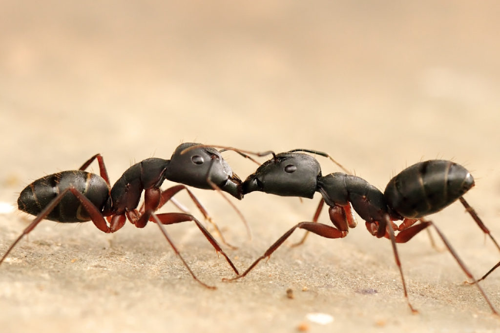 two ants feeding each other through means of trophallaxis