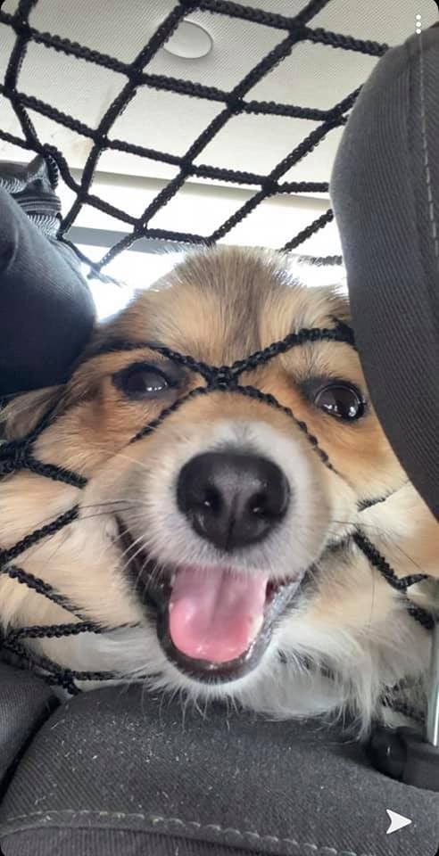 small dog smiling while pushing its face into a net in a car